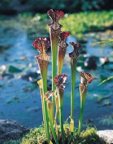 SH014 Sarracenia x Readii Medium